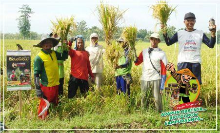 biotogrow pupuk cair hayati untuk hama Patah leher dan Kresek padi