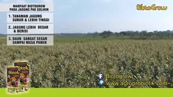 penggunaan pupuk cair Biotogrow untuk tanaman jagung