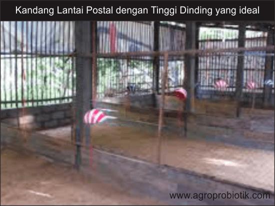 setingan ideal dinding lantai postal ayam broiler