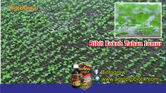 Bibit Kokoh Tahan Jamur pupuk organik cair biotogrow