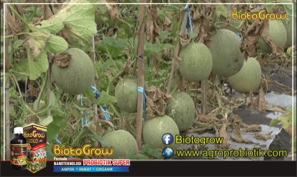 melon berhasil setelah pakai pupuk organik biotogrow - puuk untuk tanaman melon