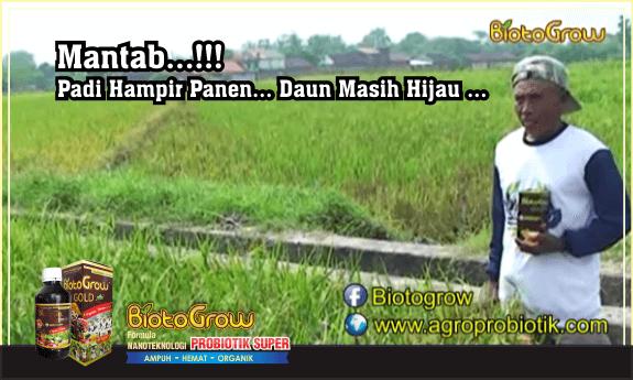 padi kuning daun hijau biotogrow pupuk organik cair