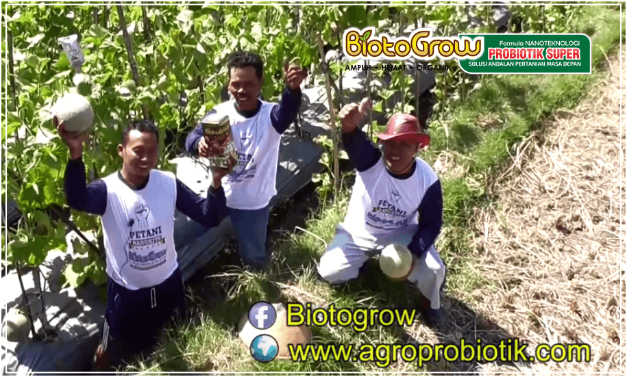 tanaman melon bebas kresek dan plonco dengan pupuk cair Biotogrow