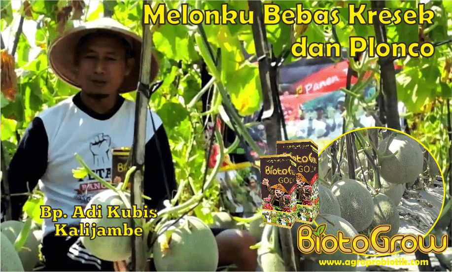 tanaman melon bebas kresek dan plonco dengan pupuk organik Biotogrow