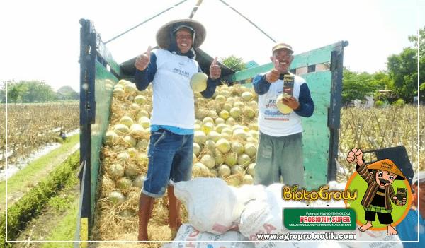 berkah petani panen raya melon biotogrow 3