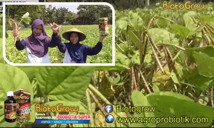 biotogrow untuk kacang hijau 2