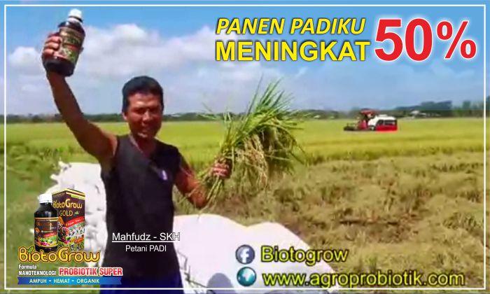 biotogrow panen padi meningkat