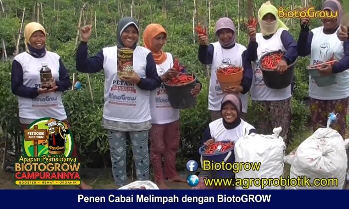budidaya cabai petani Biotogrow 2