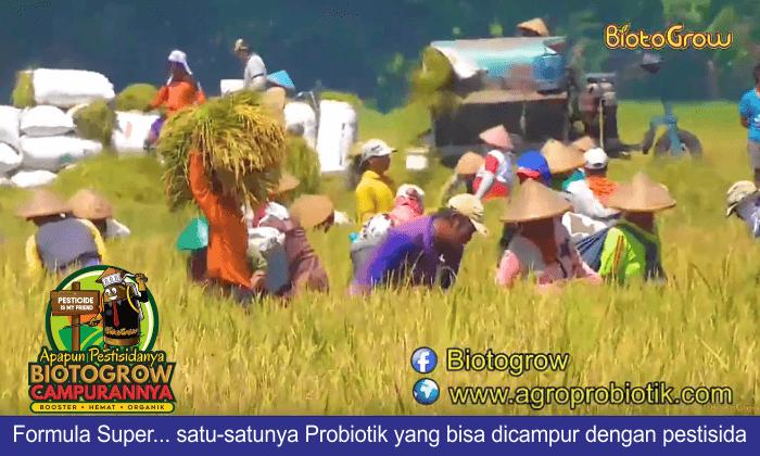 hama tanaman padi teratasi panen meningkat 2