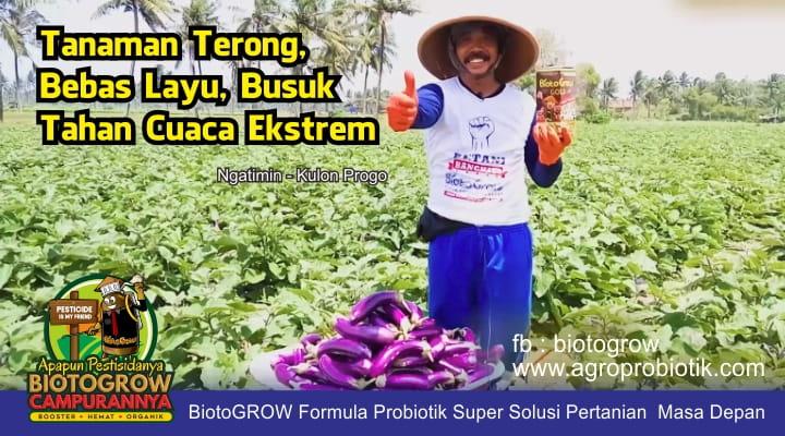 tanaman terong bebas layu dan busuk