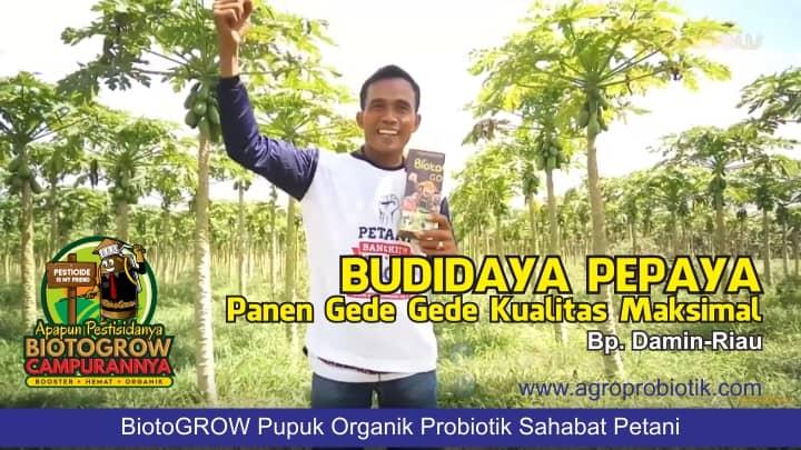budidaya pepaya dengan pupuk organik probiotik