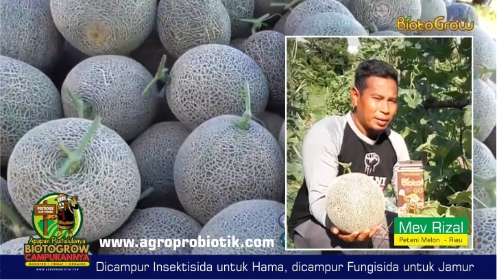01 pupuk organik untuk melon