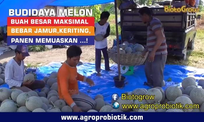 pupuk organik untuk melon