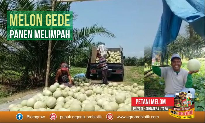 biotogrow melon gede panen melimpah