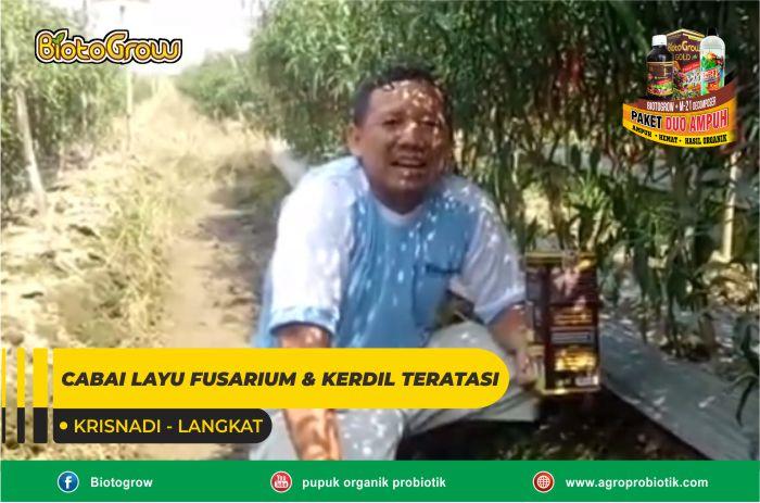 CABAI LAYU FUSARIUM & KERDIL TERATASI