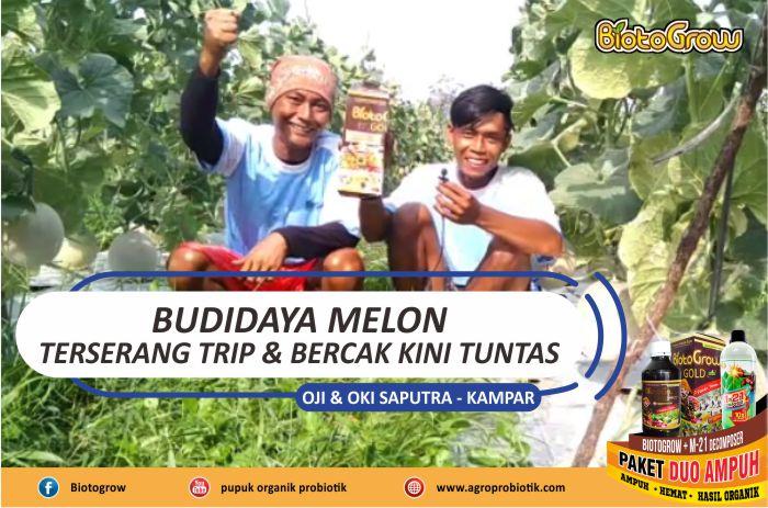 Budidaya Melon Terserang Dan Bercak Tuntas